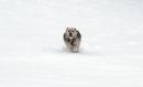 ghini der-schneehund03