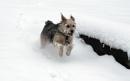 ghini der schneehund02